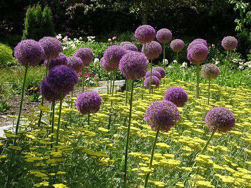 Gyönyörű évelő növény a hagymavirág