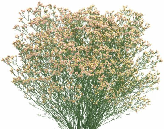 Limonium Orange Diamond