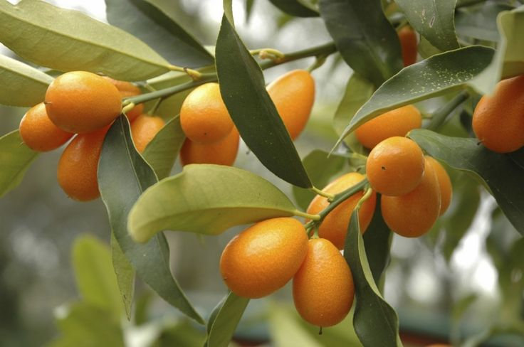 Kumquat is a small citrus fruit that grows in climates too cool for other citrus plants. If you are interested in trying your hand at growing kumquat trees, the following kumquat tree info will help.