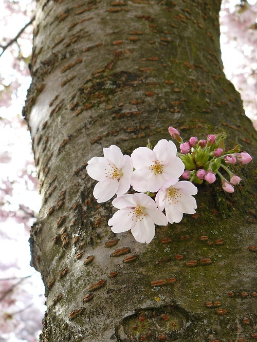 Cherry trees will produce flowers out of their trunks.