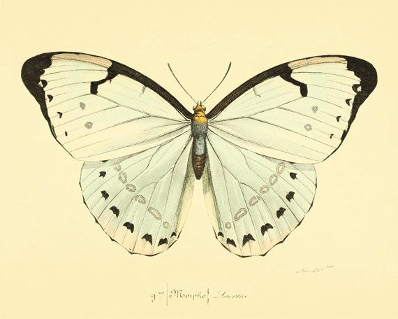 Butterfly art print Natural History old prints by AntiqueWallArt