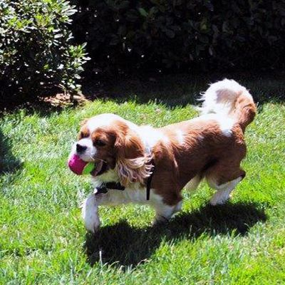 Cavalier Rescue USA - Charlie in Carmichael, CA (aka Shaggy, aka Austin)  LOVE this boy no matter what he's called!