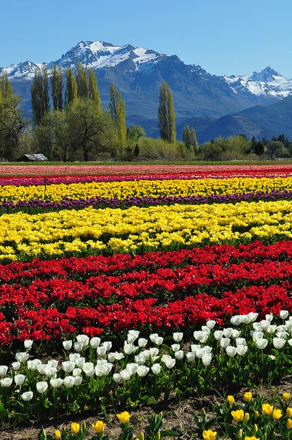Tulip fields in Trevelin, Chubut Province, Argentina