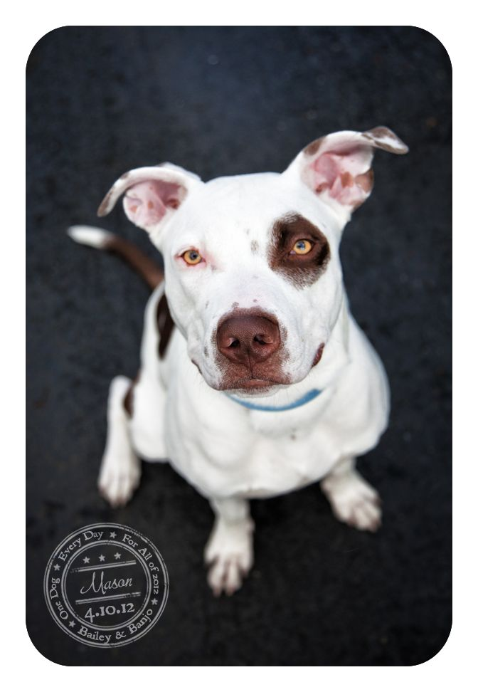Mason - April 10 - Adoptable Pitbull...see post for detailsMason