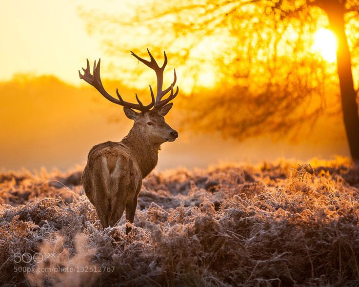 Don Mcclain - deer in sunset time - Pinned by Mak Khalaf Don Mcclain - deer in sunset time Nature animalbeauty in naturedeergreenwildlifedonmcclain by donmcclain