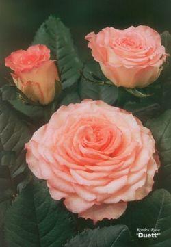 Kordes Roses International b.v.
