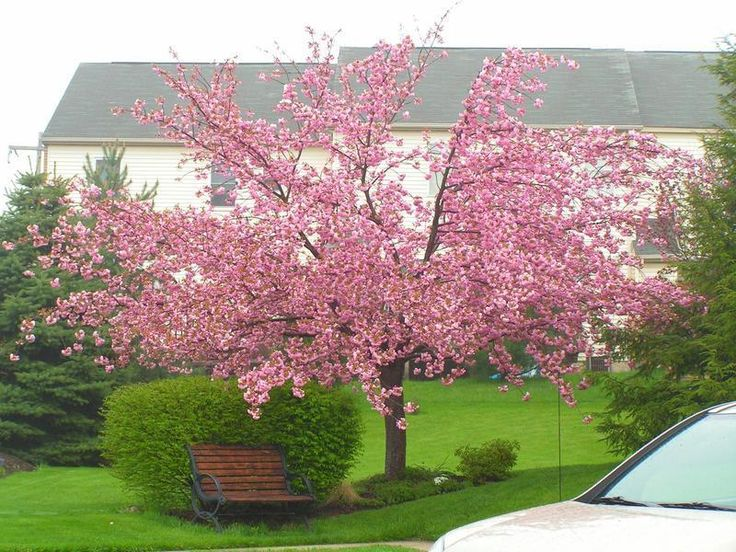Love The Shape Of Tree And Must Be Able To Walk Under But Not Too Large.  White Or Pink Is Fine For Sams Circle Full Size Picture Of Flowering  Cherry, ...