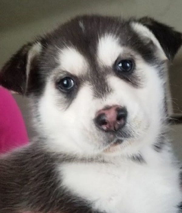 Siberian Husky Puppy For Sale In Salem Or Adn 69046 On