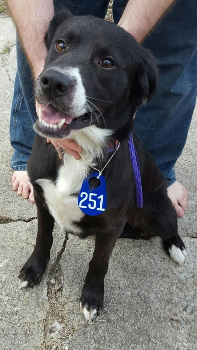01/04/17~~REVIEW DATE FRIDAY 001/06/17!!  SUPER URGENT - HOUSTON PLEASE WATCH THE VIDEO AND TAKE HIM HOME!! This DOG - ID#A474781  I am a male, black and white Labrador Retriever mix.   I am about 2 years old. Harris County Public Health and Environmental Services.  https://www.facebook.com/harriscountyanimalshelterpets/videos/1375700822493712/