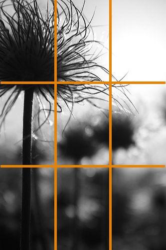 anemone-pulsatille-grille photo