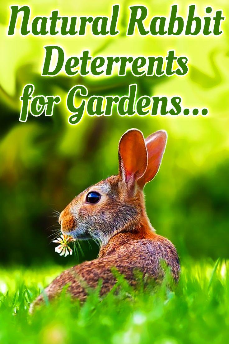 Natural Rabbit Deterrent for Garden | Rabbit deterrent ...