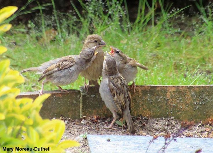 25 best ideas about oiseaux des jardins on pinterest for Jardin 4 moineaux