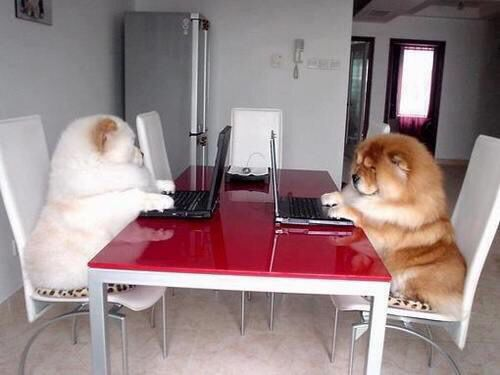 Computer buddies! #dogs #pets #ChowChows facebook.com/sodoggonefunny