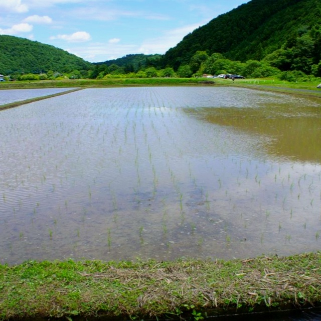 the rice‐planting season
