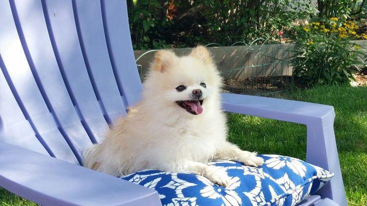 Lounging Pom, Pom on a Pillow, Pom on a Lounge Chair Pom, Pomeranian, Dog, Pup, Puppy, Summer, Lounging, Pillow, Chair #Pomeranian