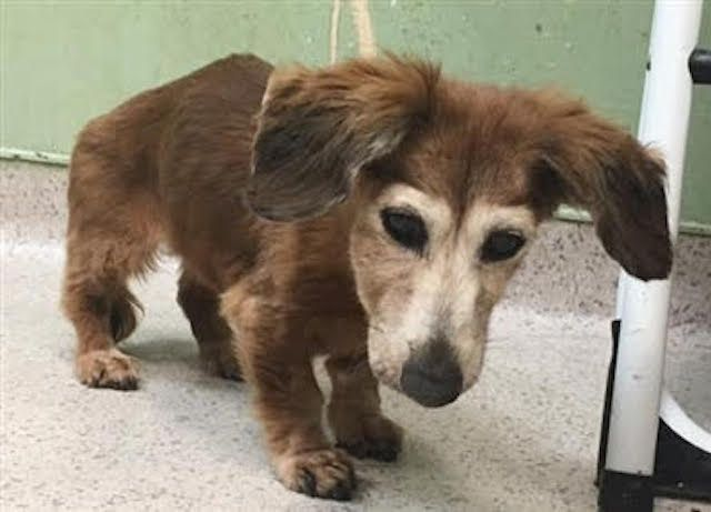 How Does A 15 Year Old Dog Who Is Blind And Barely Weighs Six Pounds Wind Up At The Manhattan S Facility Of New York City An Animal Rescue Old Dogs Animal Help