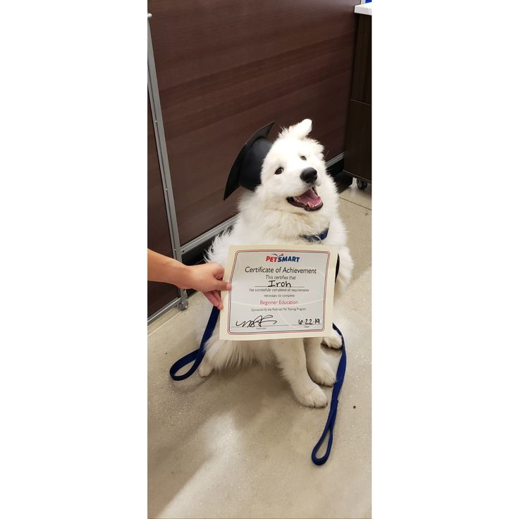 Our 6 month old Samoyed puppy Iroh graduated beginner puppy class. #Music #Indie…   – Dogs Are Awsome