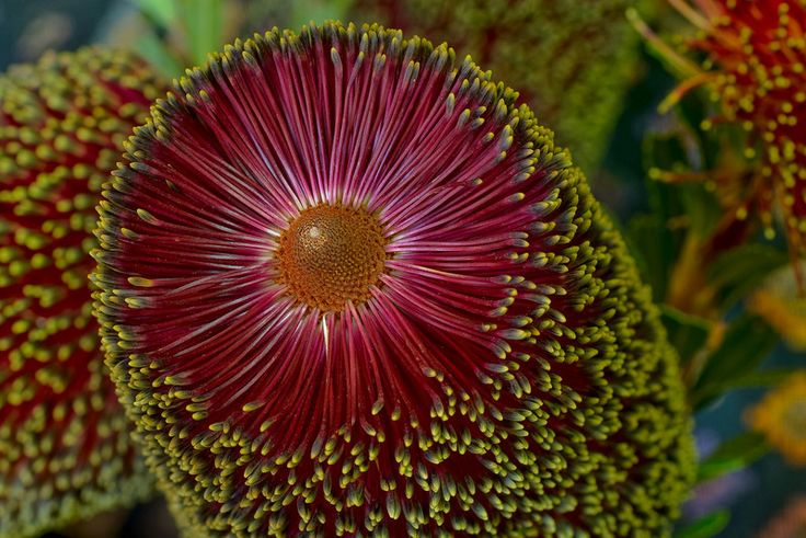 Aussie cousin. Banksia praemorsa.