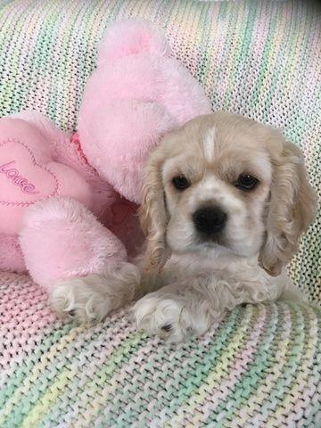 Cocker Spaniel puppy for sale in LAKELAND, FL. ADN-65491 on PuppyFinder.com Gender: Female. Age: 11 Weeks Old