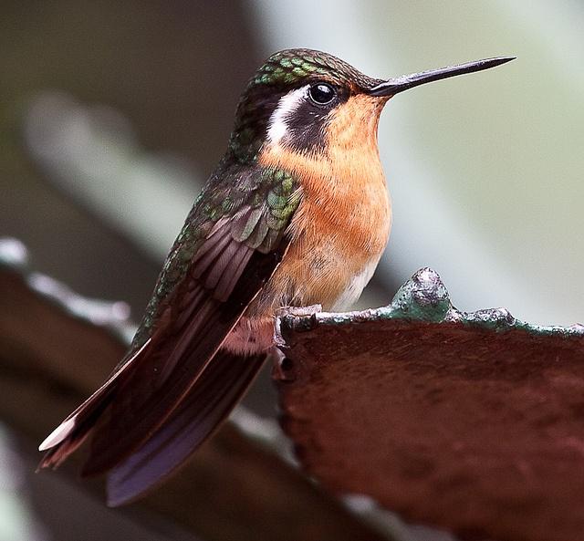 Costa Rican hummingbird by oggywaffler