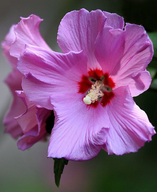 ~~Morning Sunshine ~ Hibiscus by AnyMotion~~