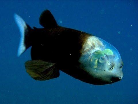 El pez con la cabeza transparente