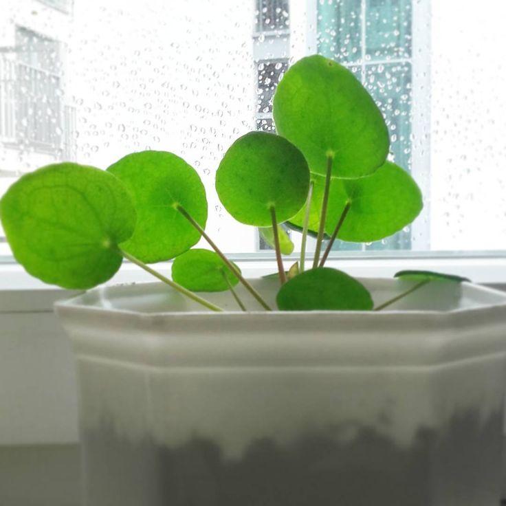 Pilea :) pieniążek.  #pilea #plant #chinesemoneyplant #nature #Green
