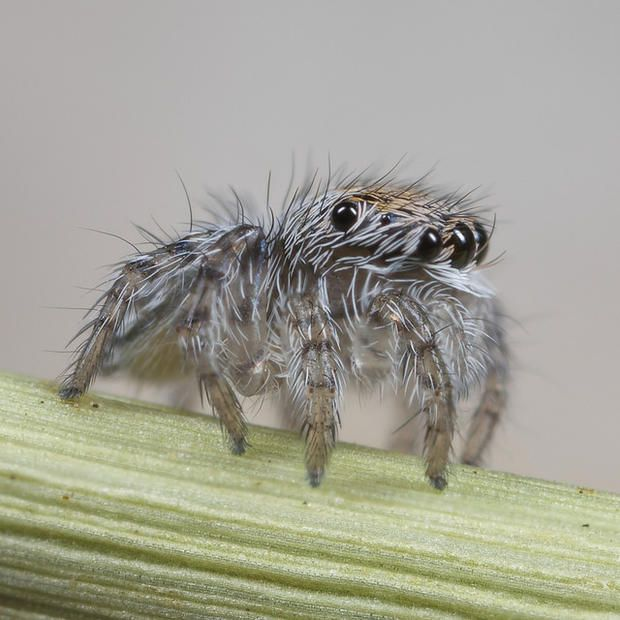 Two words: Spider puppies.   5 Flashy Facts About Peacock Spiders   Mental Floss