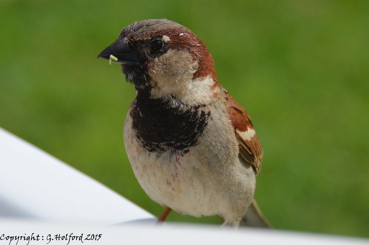 Cypriot Sparrow in Agia Napa, Famagusta District_ Cyprus