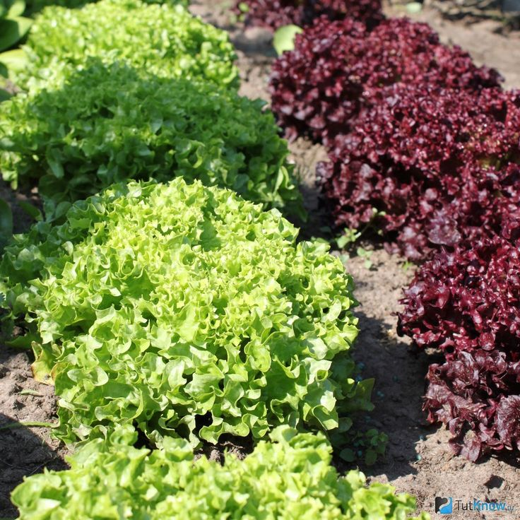 Как вырастить салат латук на грунте