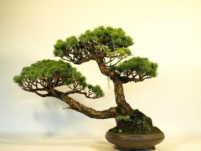 五葉松盆栽 斜幹 背面