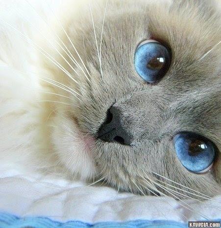 via google!    Siamese cat