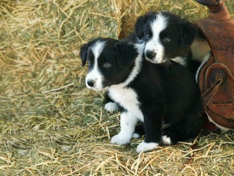 Border Collie Puppies Photographic Print