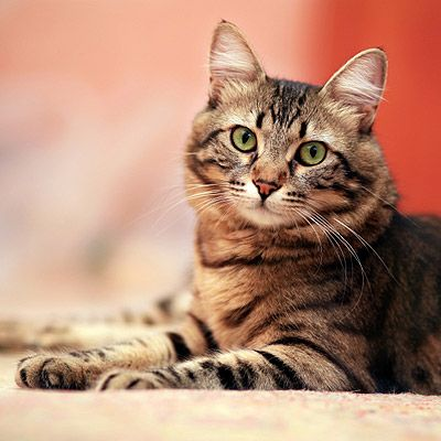 Cat Insurance Plans - Pet Cat Health Insurance