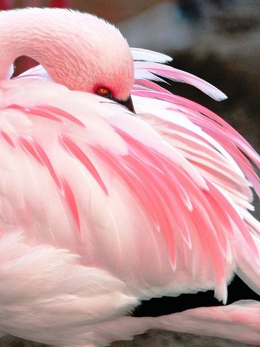 Flamingo pink is so much pretty on the real bird than the campy plastic yard ornaments isn't it?