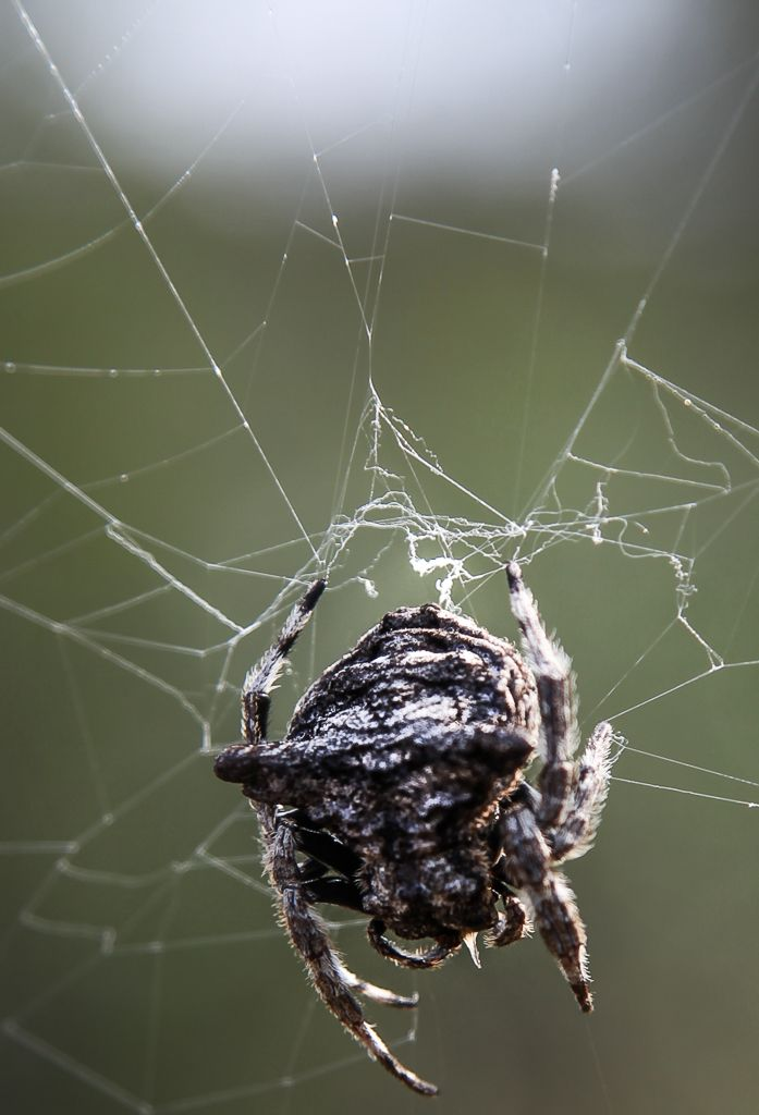 Bark spider on the web. Balule Nature Reserve, South Africa.  (c) Miikka Järvinen, from my gallery South African Wildlife http://miikkajarvinen.wordpress.com/2014/02/21/south-african-wildlife/