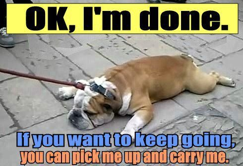 This happened to me and of course I carried my dog back to the car, turned the air on and hand fed him ice chips until he got his second wind.