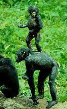 Bonobo standing on shoulders