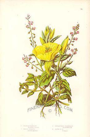 Evening Primrose Flowers - Ann Pratt