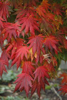 Acer shirasawanum ' Palmatifolium ' Japanese Maple