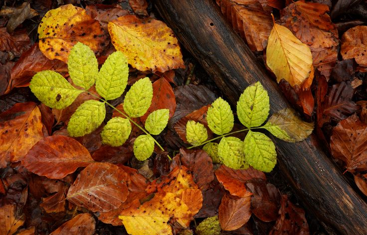 https://flic.kr/p/AfaUBP | Autumn Leaf Fall | © 2015 Alan Mackenzie.  www.alanmackenziephotography.com  Facebook  The tree canopy can be so dazzlingly bright in autumn, that it's easy to overlook details on the forest floor, such as these fallen ash and beech leaves.
