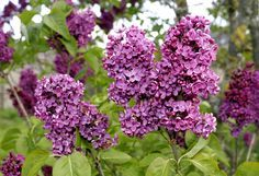 Lilas : planter et tailler – Ooreka