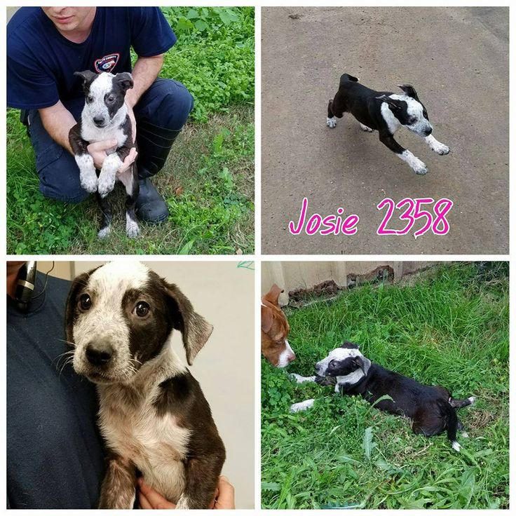 11/17/16-Smith County Tyler TX Josie 2358 Collie heeler mix Female Blk wht 3 mo 13 lbs Skin issues Cr 450 No chip https://docs.google.com/forms/d/1GyuqfYsljTPBnM8I6VoTccYG0FAmTvFOXcXCTqL_yqc/viewform?c=0&w=1 Individuals wishing to adopt please fill out the form above. Please only fill out if you are serious about adopting.