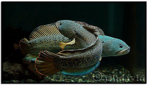 Channa Barca snakehead from ashdavid1 on Flickr