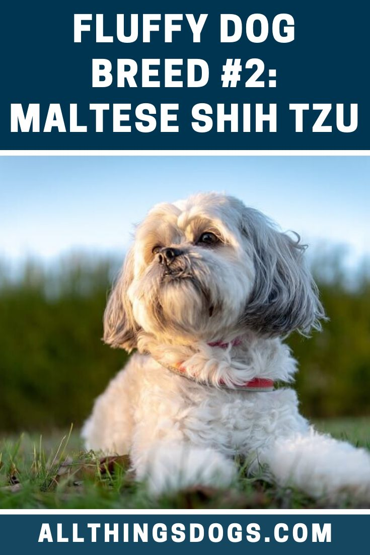 Often known as the malshi the maltese shih tzu mix is a