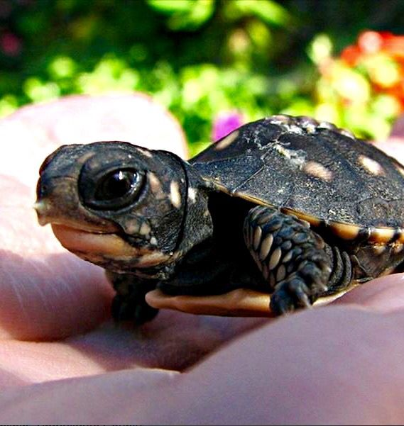 Omg freshly hatched egg tooth still visible so cute chelonians pinterest babies eggs - Cute turtle pics ...