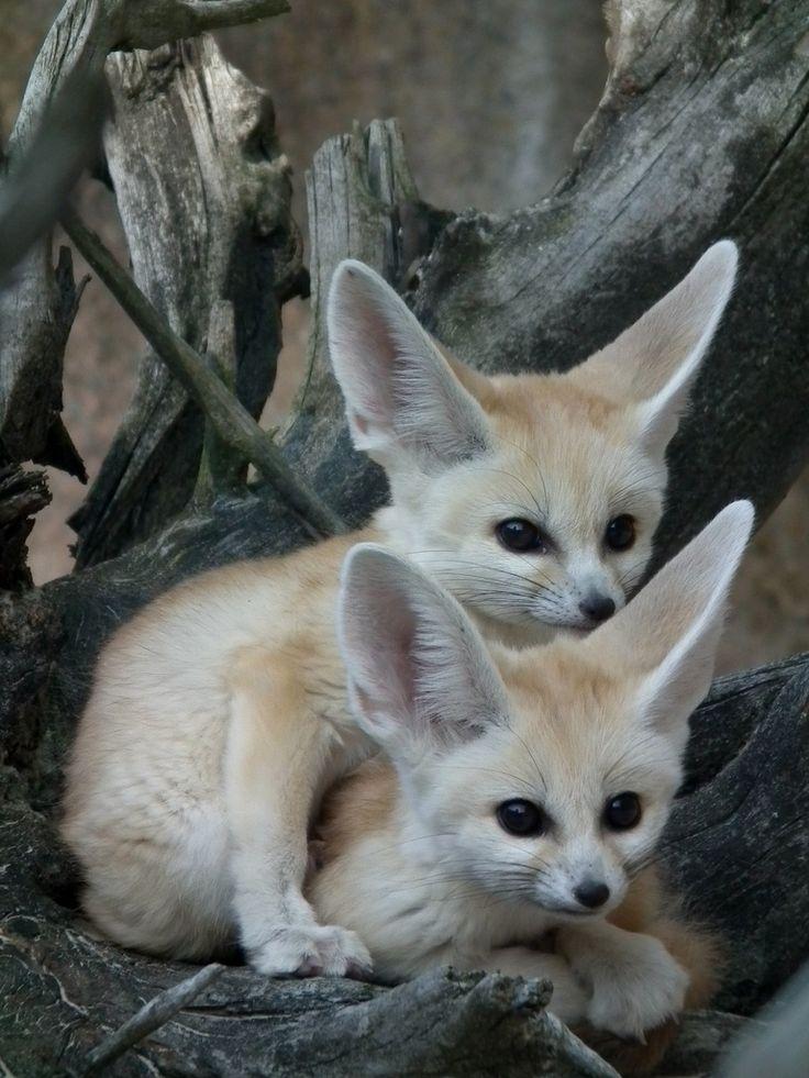 10 Best Fennec Fox Images On Pinterest Foxes Fennec Fox And Wild Animals