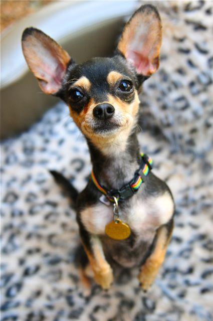 Kim: Chihuahua Cuti, Ears, Pet Pics, Chihuahua Pics, Funny Pet, Sweetbabi Dogs, Sweet Baby Dogs, Animal, Things Chihuahua