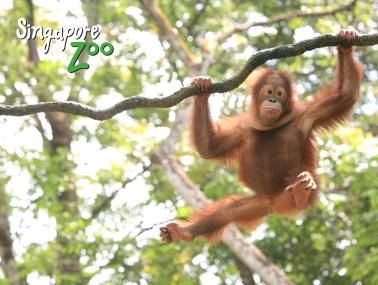 Singapore Zoo Morning Tour with Jungle Breakfast Option