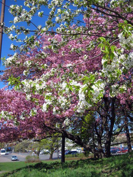 Kukkivien koristeomenapuiden väriloistoa Isokaarella [Satu Tegel]